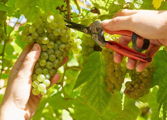 galeria elaboración uva